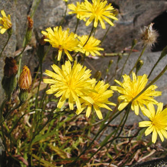 Autumn Hawkbit