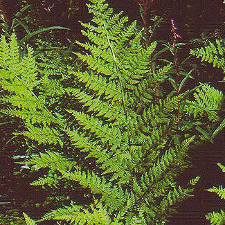 Northern Buckler Fern