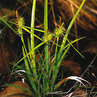 Yellow Sedge